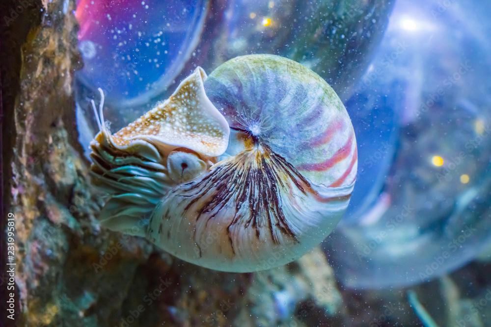 Valokuva  beautiful nautilus squid animal marine life portrait of a rare exotic living she