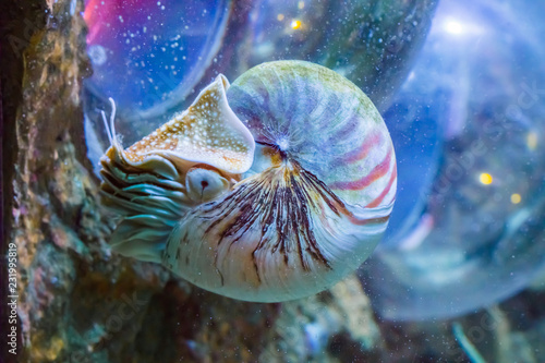 Valokuvatapetti beautiful nautilus squid animal marine life portrait of a rare exotic living she