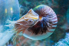 Rare Tropical Marine Life Portrait Of A Nautilus Cephalopod A Living Shell Fossil Underwater Sea Animal