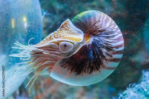 Valokuva Rare tropical marine life portrait of a nautilus cephalopod a living shell fossi