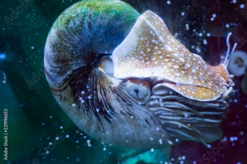 Fotografie, Obraz  Marine life portrait of a nautilus in close up rare tropical living fossil cepha