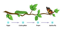 Life Cycle Of Butterfly Eggs, ...