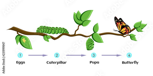 Photo Life cycle of butterfly eggs, caterpillar, pupa, butterfly