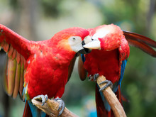 Two Red Parrots Cleaning Each Other And French Kissing, Funny Birds Behavior.