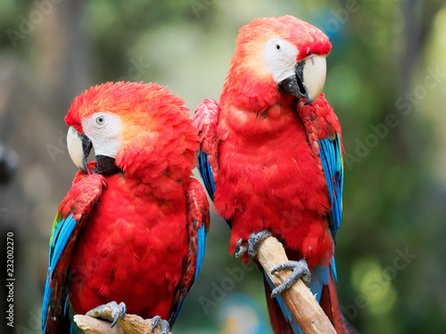 In de dag Papegaai A pair of red parrot standing together, looking at camera with different expression.
