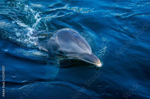 Fotografie, Obraz  Tursiops tuncatus, dolphin close up