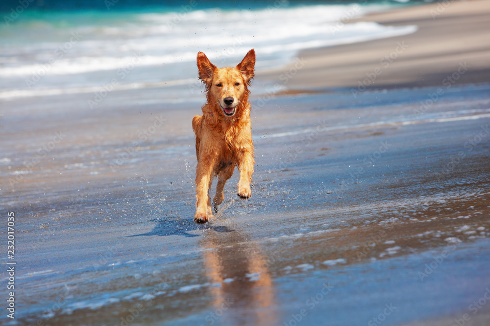 Fototapeta Photo of golden retriever walking on sand beach. Happy dog wet after swimming run with water splashes along sea surf. Actions, training games with family pets and popular dog breeds on summer vacation