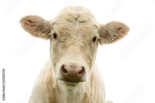 White cow looking at us in a white background