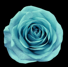 Turquoise  Flower Rose  On  Black Isolated Background With Clipping Path.  No Shadows. Closeup.  For Design. Nature.