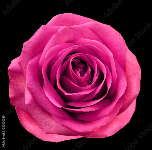 Spoed Fotobehang Roze Pink flower rose on black isolated background with clipping path. no shadows. Closeup. For design. Nature.