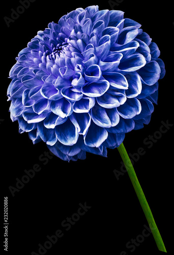 Poster de jardin Dahlia flower isolated blue dahlia on the black background. Flower on the stem. Closeup. Nature.