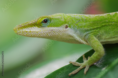 Green anole close-up on Big Island of Hawaii Wallpaper Mural