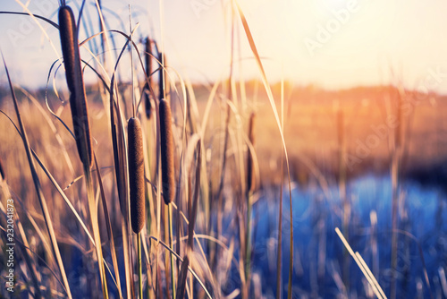 Aluminium Prints Autumn Autumn landscape with plant of cattail on the bank of the pond