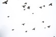 A flock of pigeons flies across the sky. Birds fly against the sky. A large group of birds of pigeons flies across the sky on a white background.
