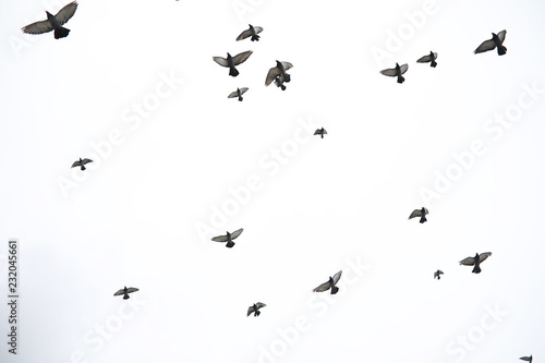 Canvas Print - A flock of pigeons flies across the sky. Birds fly against the sky. A large group of birds of pigeons flies across the sky on a white background.
