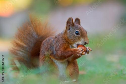 Sciurus vulgaris - Eichhörnchen mit einer Haselnuß