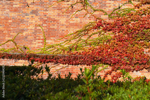 Foto auf AluDibond Koralle 【函館元町公園】蔦の絡まるレンガ壁