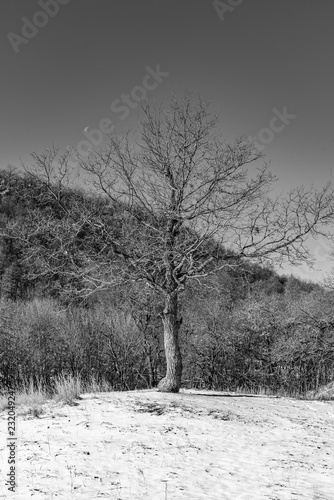 Spoed Foto op Canvas Bomen Lonely tree on a snowy hill on the background of the mountain slope, black and white