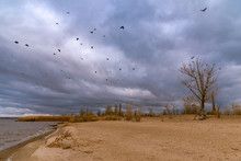 Dramatic Landscape - A Flock Of Crows Over Trees With Bare Branches Growing On The Dunes