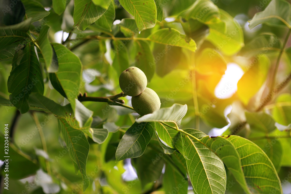 young green greek nuts grow on a tree with solar reflections