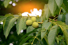 Fruits Of A Walnut On A Tree I...