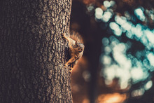 A Squirrel On The Side Of The Tree Looking Off Into The Distance