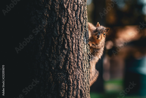 Foto op Aluminium Eekhoorn A squirrel on the side of the tree looking at the camera