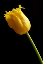 Yellow Tulip On Black Background
