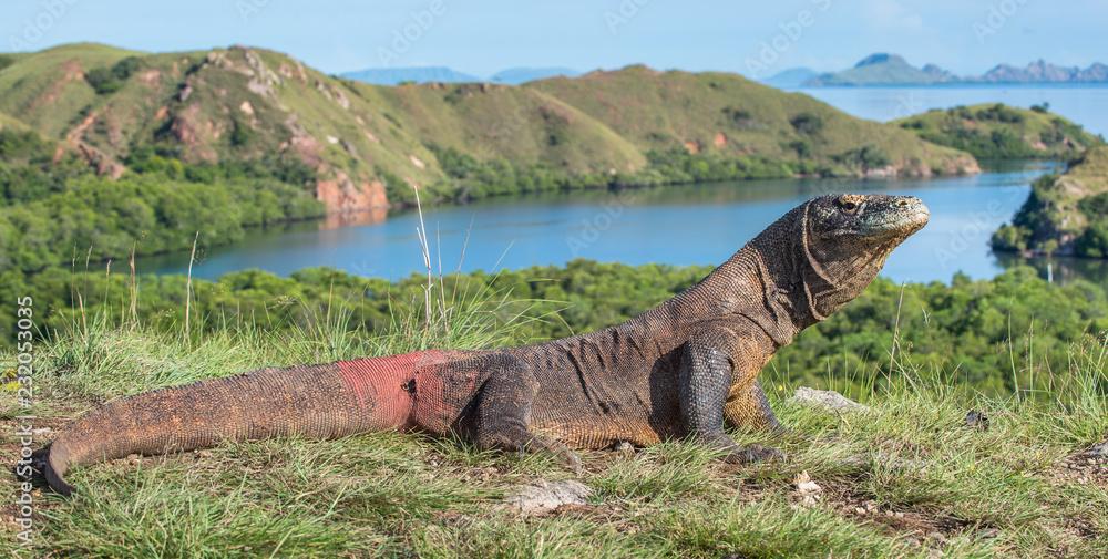 Fototapeta Portrait of the Komodo dragon ( Varanus komodoensis ) is the biggest living lizard in the world.  On island Rinca. Indonesia.