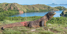 Portrait Of The Komodo Dragon ( Varanus Komodoensis ) Is The Biggest Living Lizard In The World.  On Island Rinca. Indonesia.