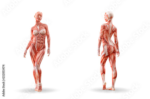 Muscles anatomy female figure workout, isolated Poster Mural XXL