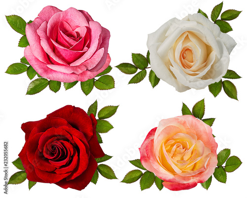 rose isolated on white background Wall mural