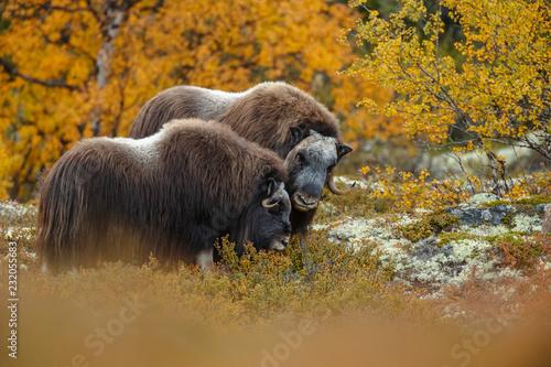 Keuken foto achterwand Buffel Musk-ox in a fall colored setting at Dovrefjell Norway