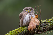 Owls - Pygmy Owl (Glaucidium P...