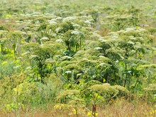 Blossom Poisonous  Giant Hogweed On A Field. Large Cow Parsnip Background. Heracleum, Indian Celery Or Rhubarb