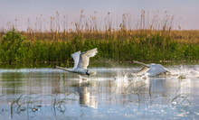 Wild Swans In The Volga River ...