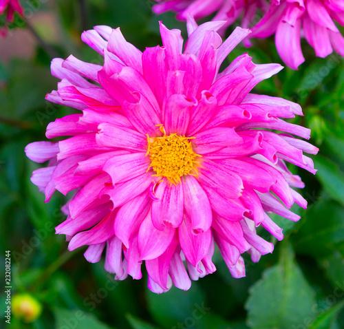 In de dag Dahlia Dahlia flower closeup. Colorful dahlia flower with water drops.