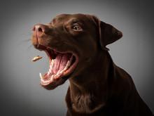 Hund Labrador Braun Fängt Leckerlie Keks In Der Luft Und Schnappt Danach Vor Grauem Hintergrund
