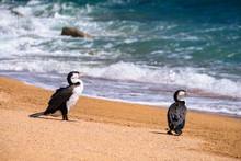 2 Shag Birds Stand On The Beautiful Beach Along The Coastline In Abel Tasman National Park, South Island, New Zealand.