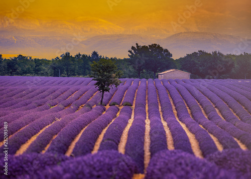 Deurstickers Snoeien lavender field in provence france