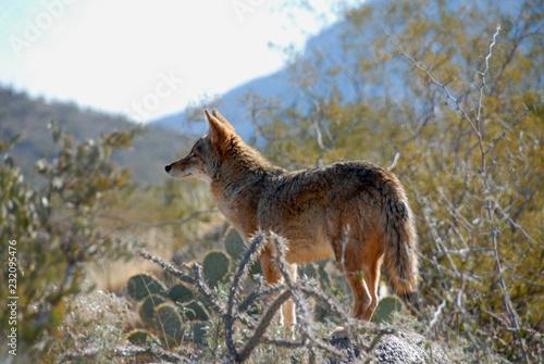 Canvas Coyote