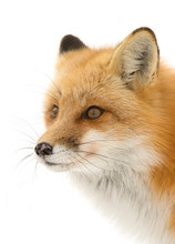 Red Fox (Vulpes Vulpes) Closeup With A Bushy Tail Hunting In The Freshly Fallen Snow In Algonquin Park, Canada