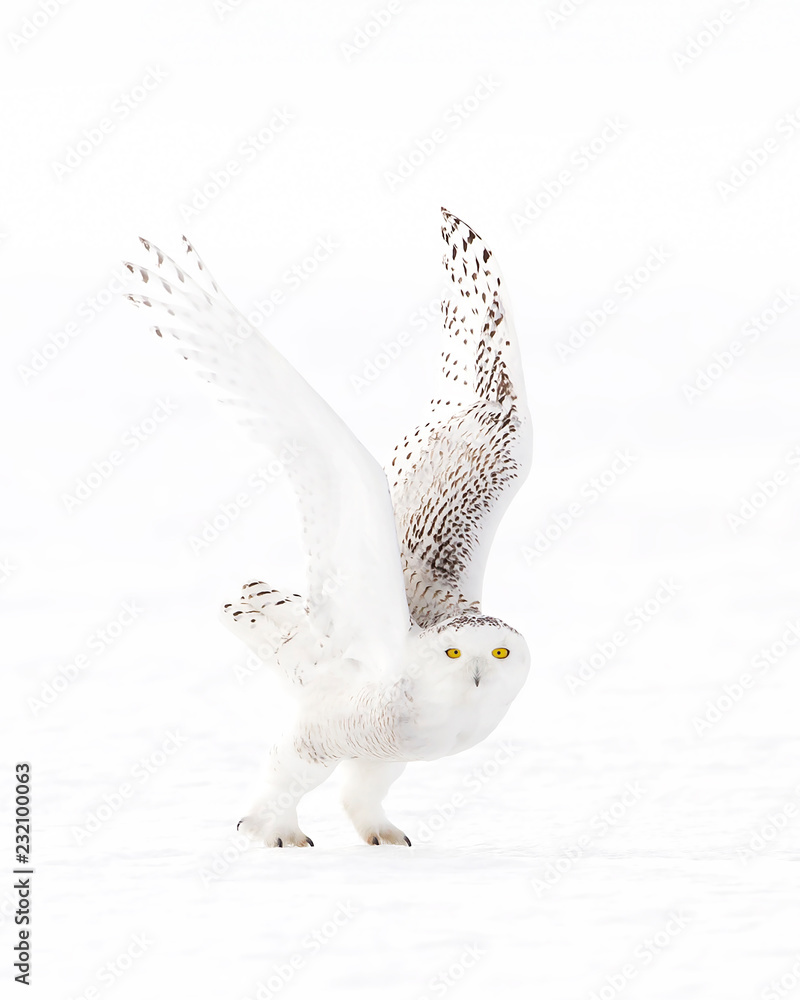 Snowy owl (Bubo scandiacus) isolated on white background hunting over a snow covered field in Canada