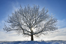 Germany, Frost-covered Tree In Winter
