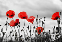 Guts Beautiful Poppies On Black And White Background