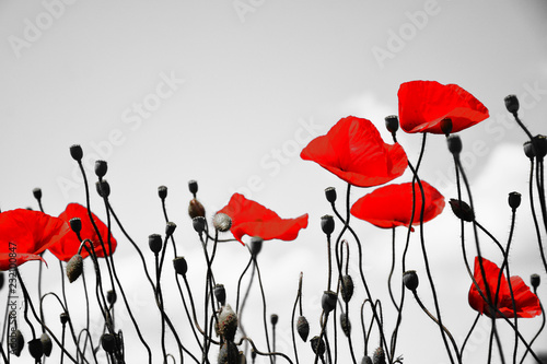 Foto op Canvas Poppy Guts beautiful poppies on black and white background