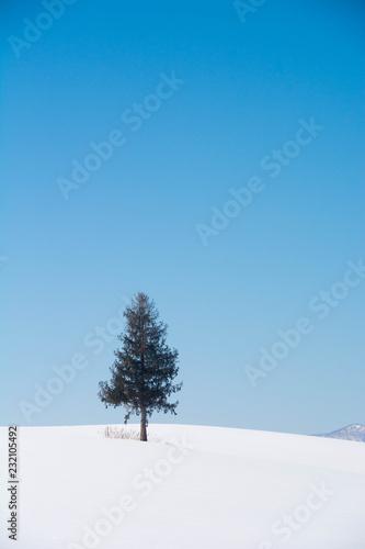 Foto op Aluminium Blauw 丘の上の松の木と青空 美瑛町