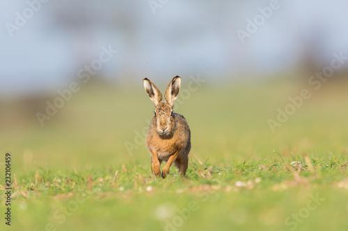 Valokuvatapetti Brown Hare