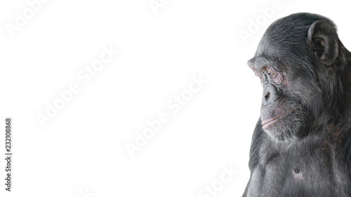 Portrait of curious Chimpanzee like asking a question, at white background, details, paste space