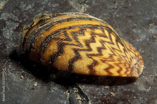Fotografia Zebra mussels are an invasive species that has been accidentally introduced to numerous areas including the St